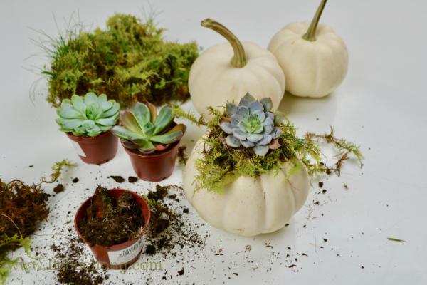 Mini succulent pumpkins lizbushong.com