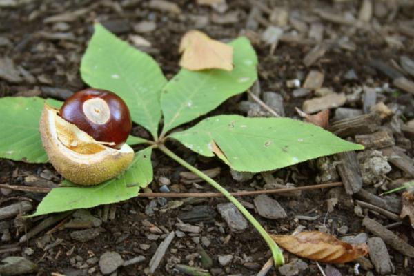 Peanut Butter Buckeye recipe- buckeye nut photo